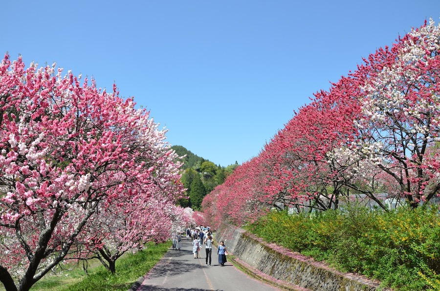 阿智村の花桃まつりの風景