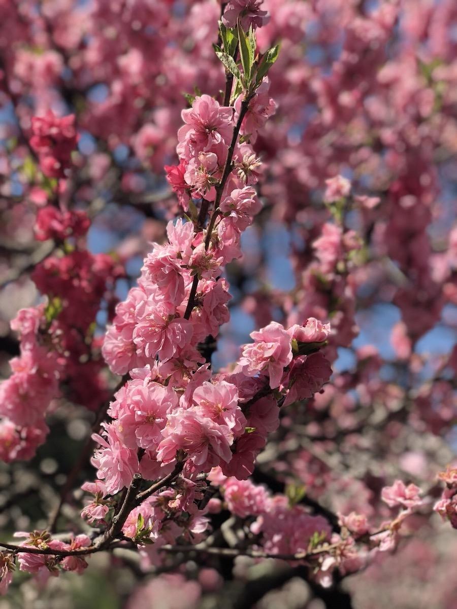 花桃:観賞用の品種